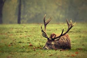 deer sleeping