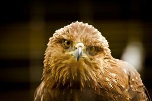 eagle curious