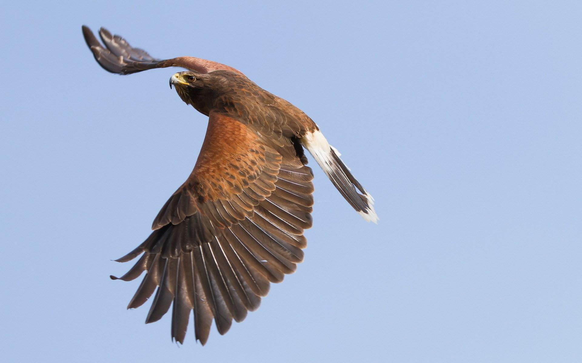 eagle on sky