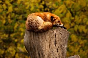 fox images free