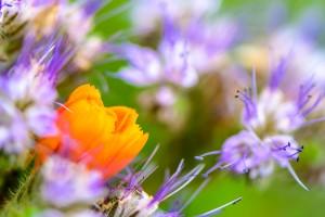 gerbera phacelia flowers