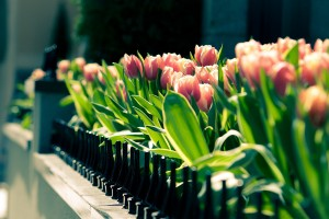 images of tulips flower
