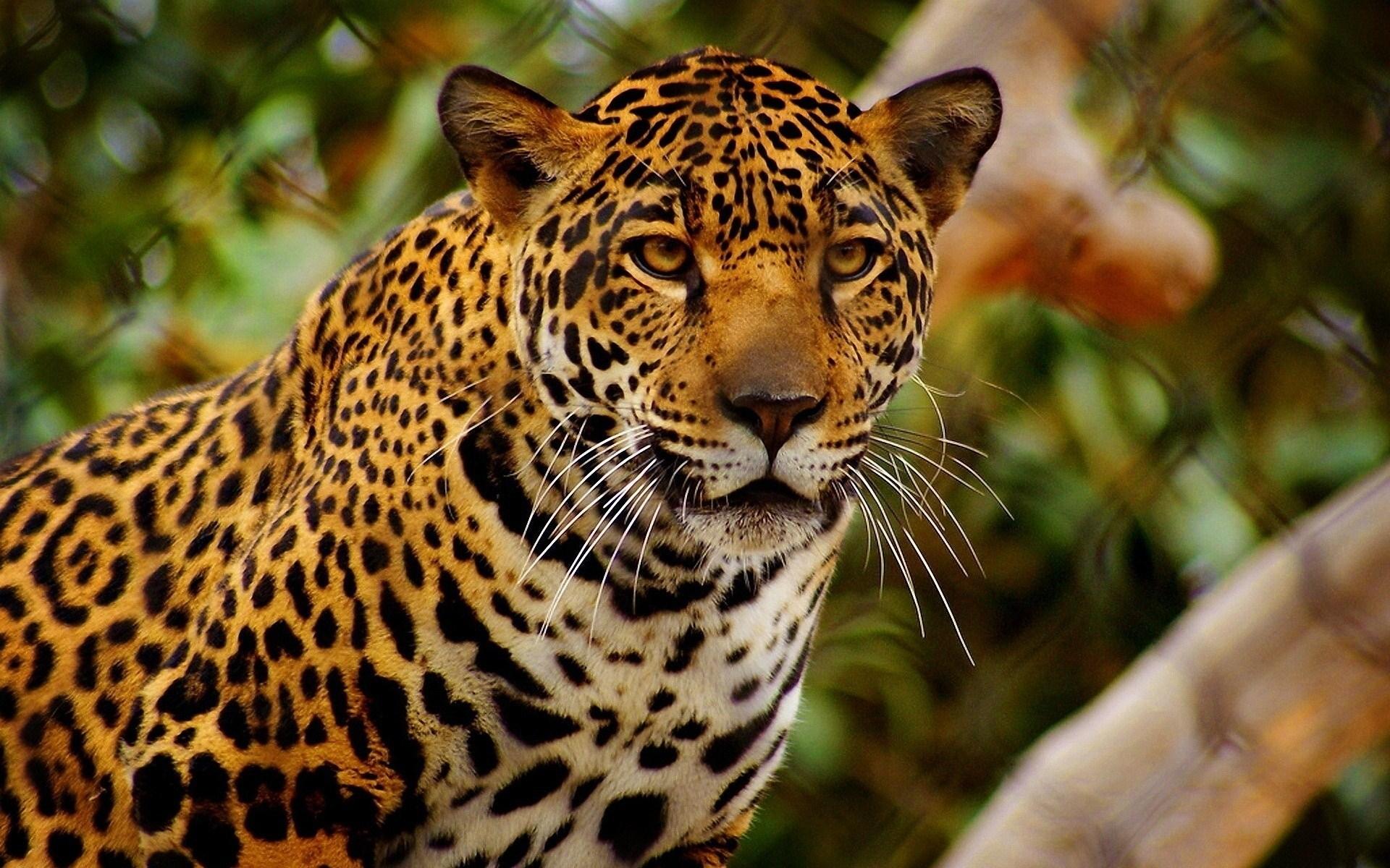 jaguar nature wallpaper