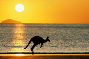 kangaroo sunset wallpaper