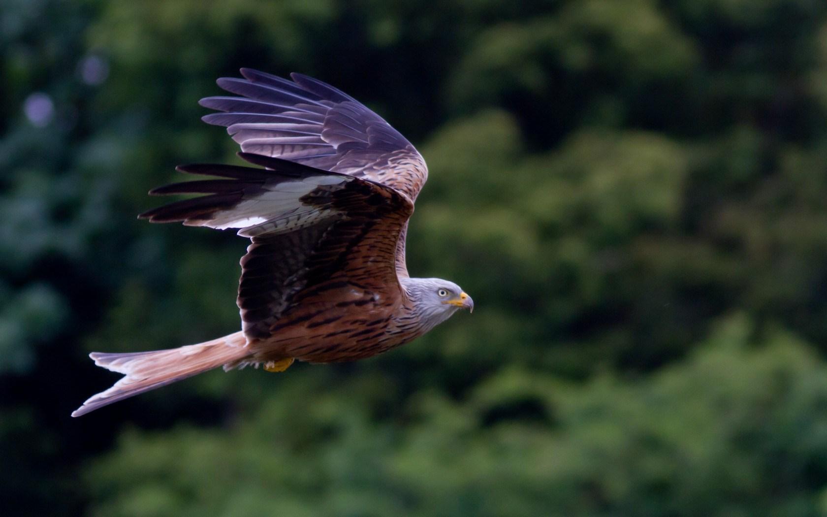 kite bird flying nature