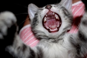 kitten cute yawn pictures