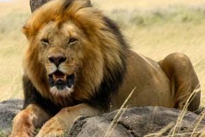 lion pc download