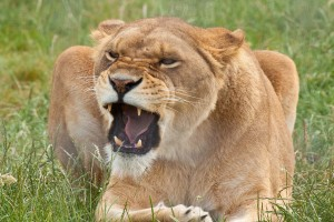 lioness angry