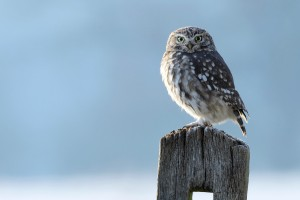 owl bird breed hd