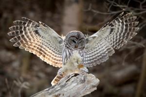 owl wings
