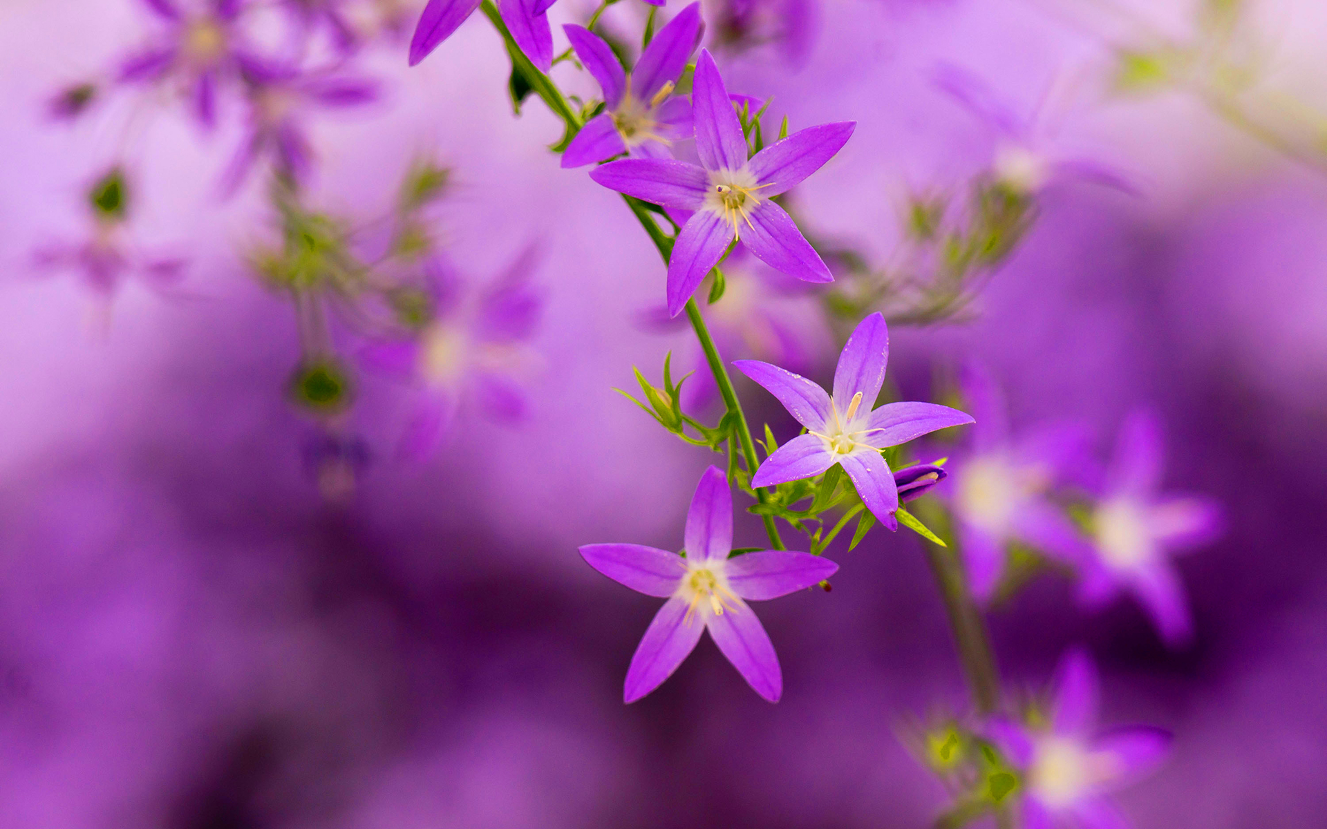 Purple Blooming Hd Desktop Wallpapers 4k Hd