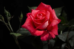 red rose wet images