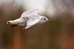 seagull beautiful flying