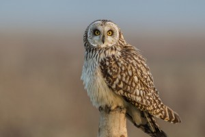 short eared owl images