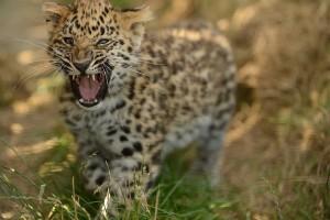 snow leopard cub beautiful