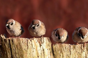 sparrow bird family