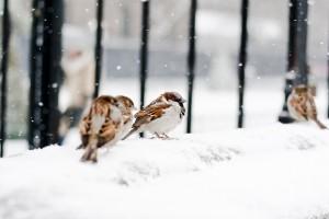 sparrows winter snow birds