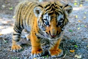 tiger cute images desktop