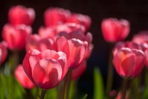 tulips hd