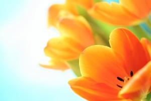 tulips pictures free orange