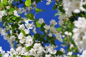 white blossoms spring season