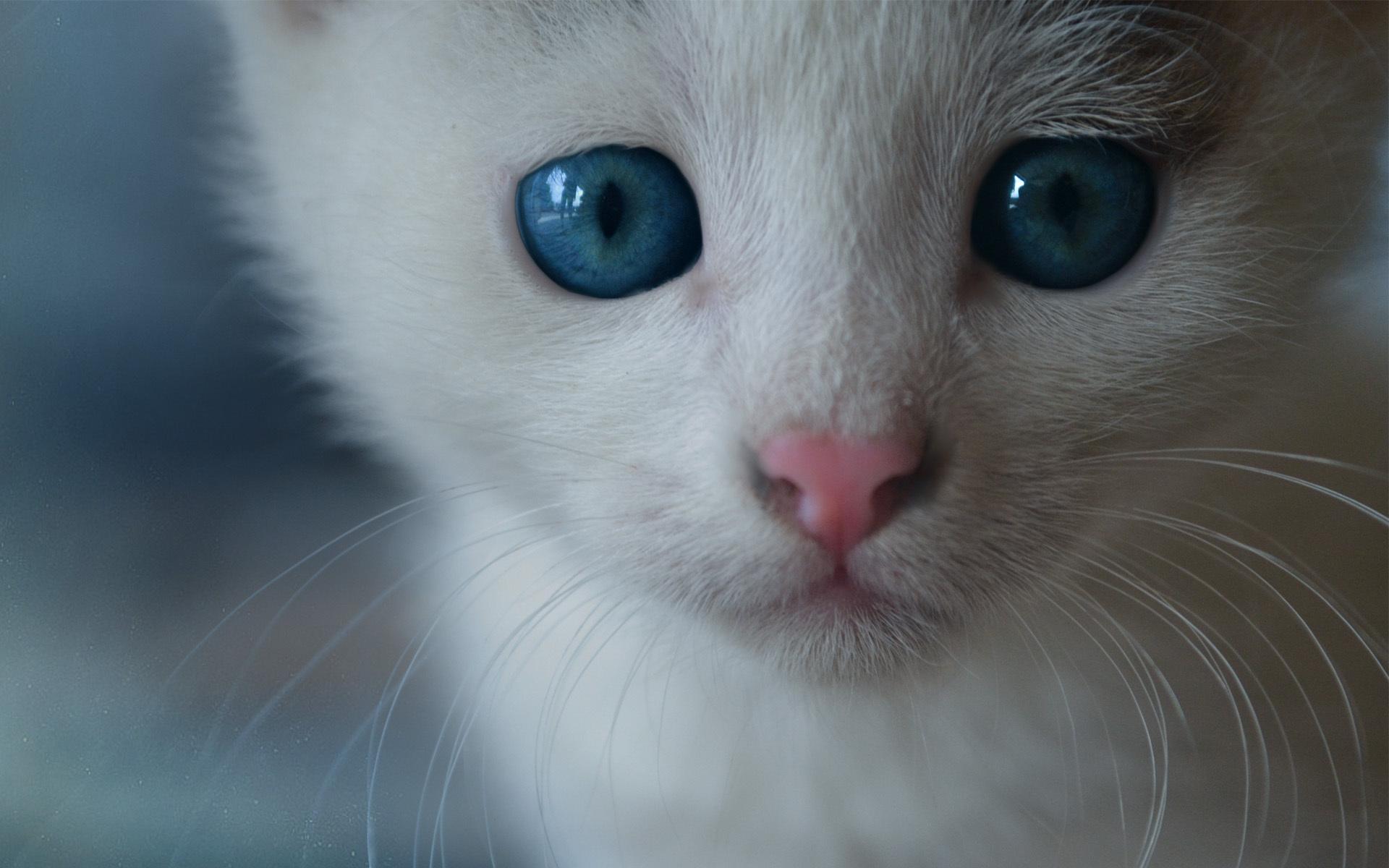 white cat blue eyes hd - hd desktop wallpapers | 4k hd