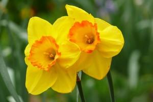 yellow daffodils hd