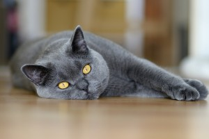 yellow eyes cat