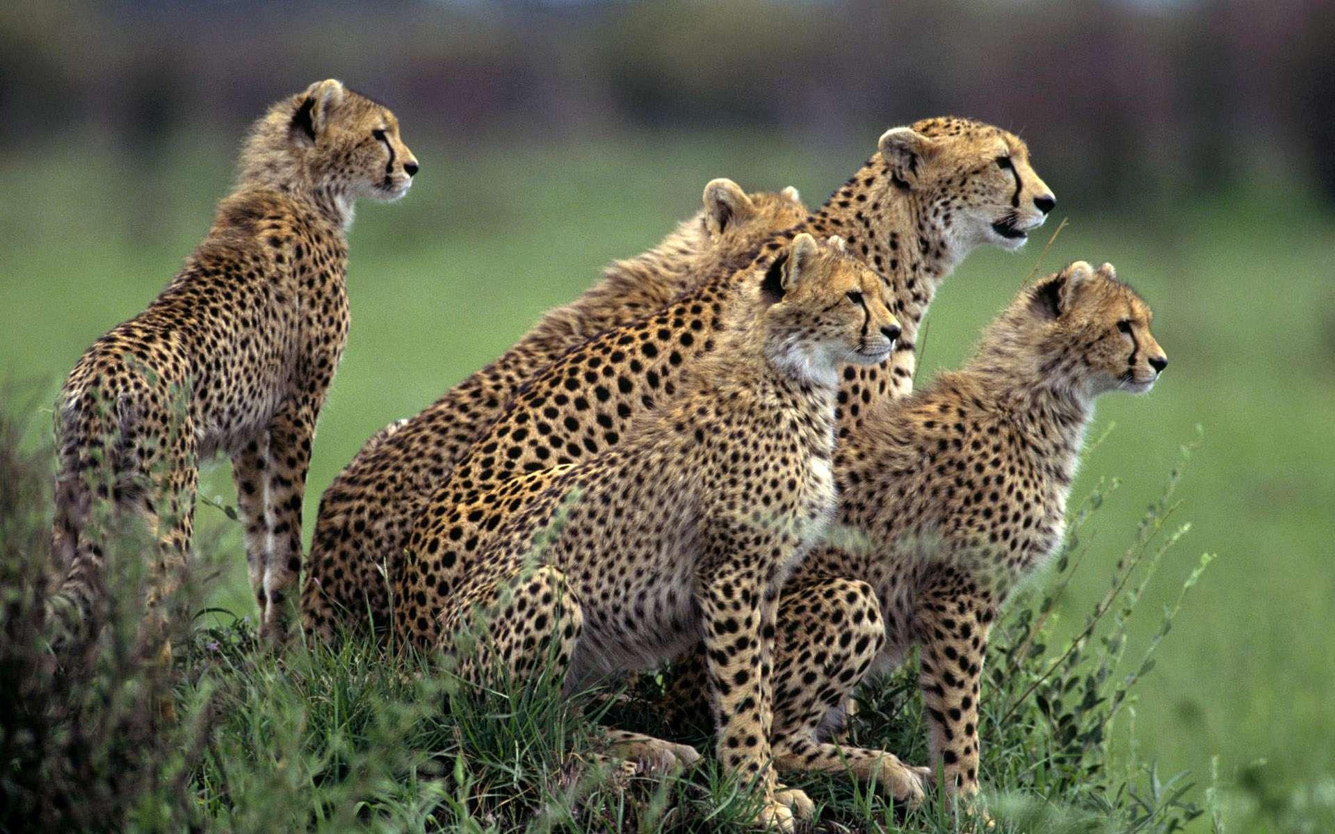 animal cheetah pictures