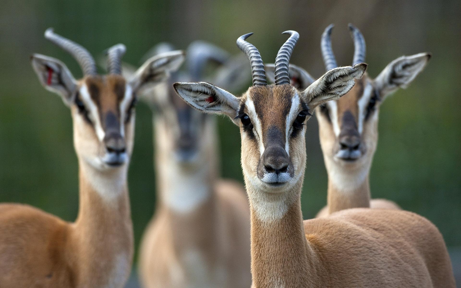 antelope wallpaper 1080p