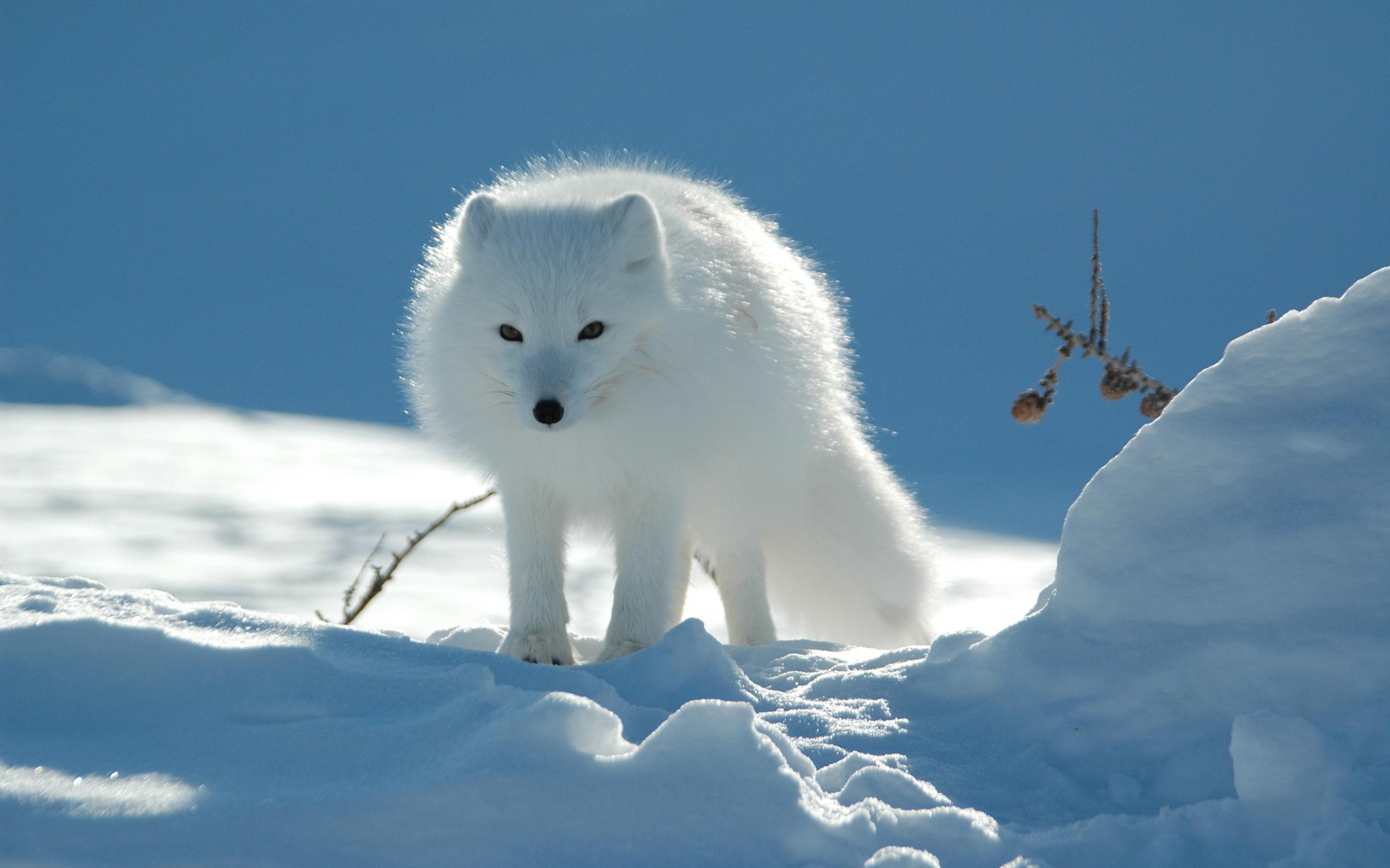 arctic fox hd