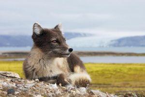 arctic fox nature
