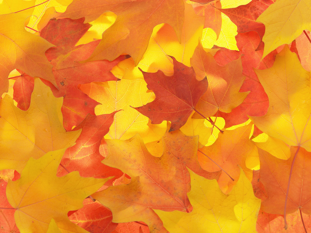 Fall Colored Maple Leaves