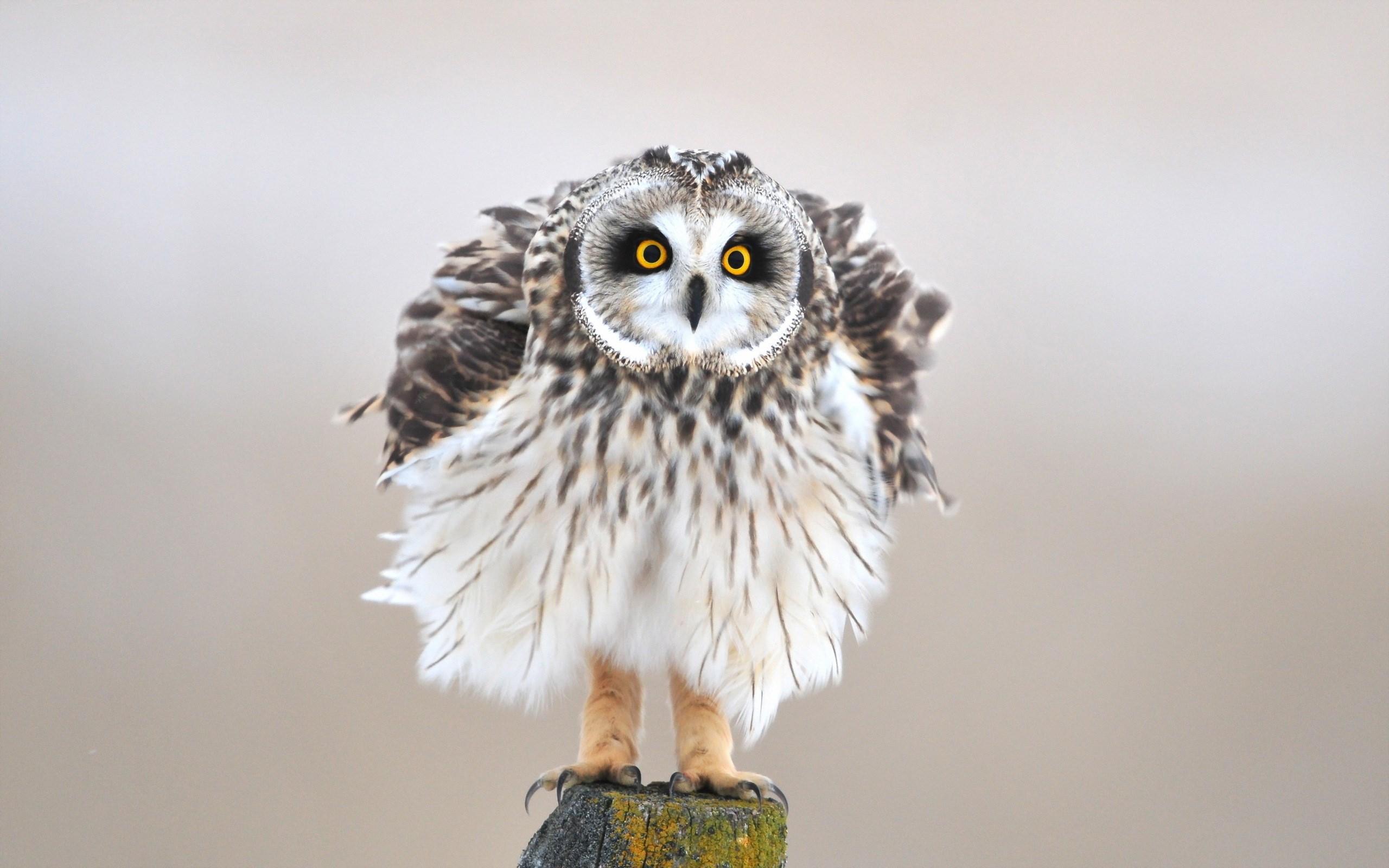 baby owl wallpaper