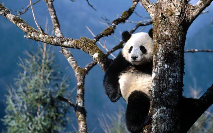 background panda