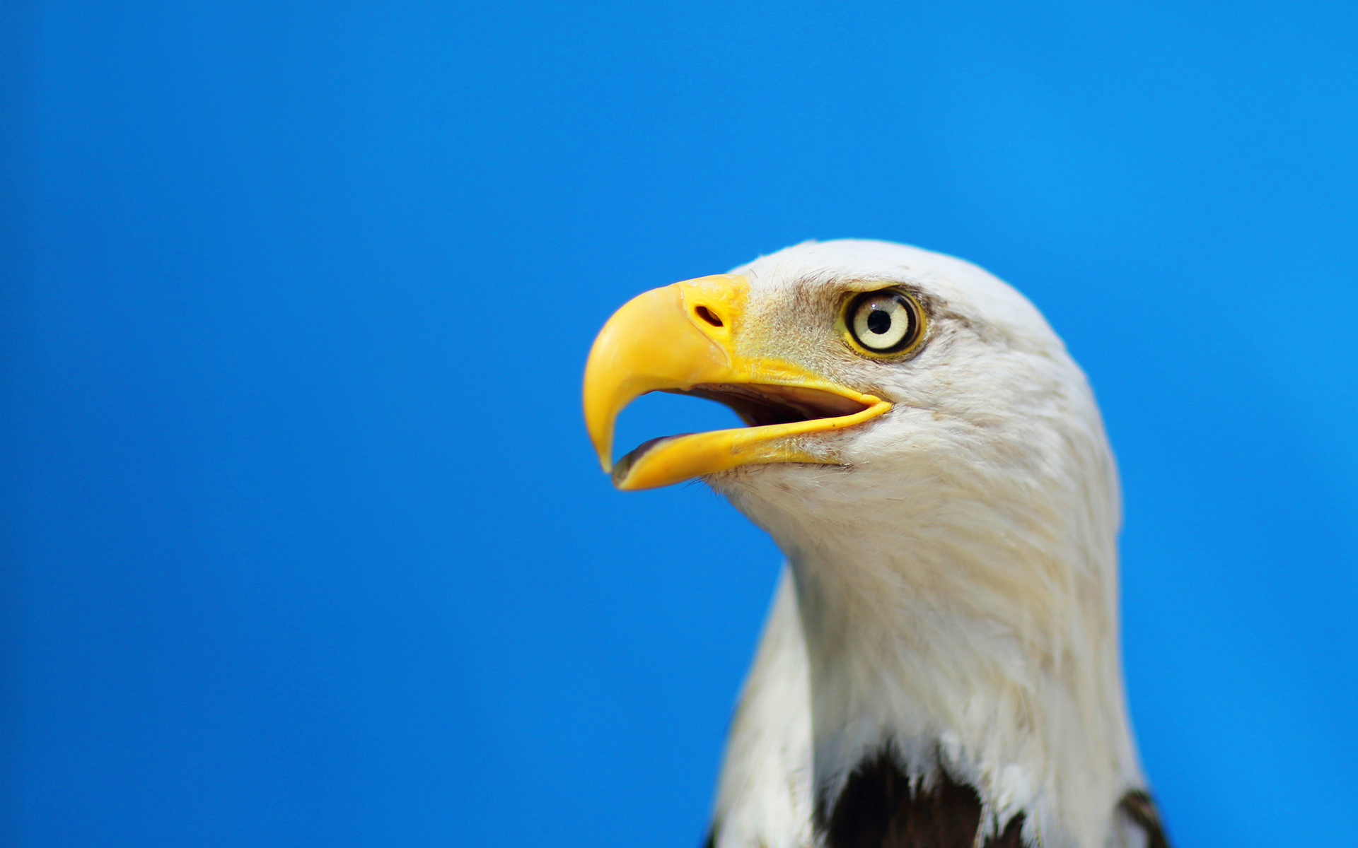 bald eagles wallpaper