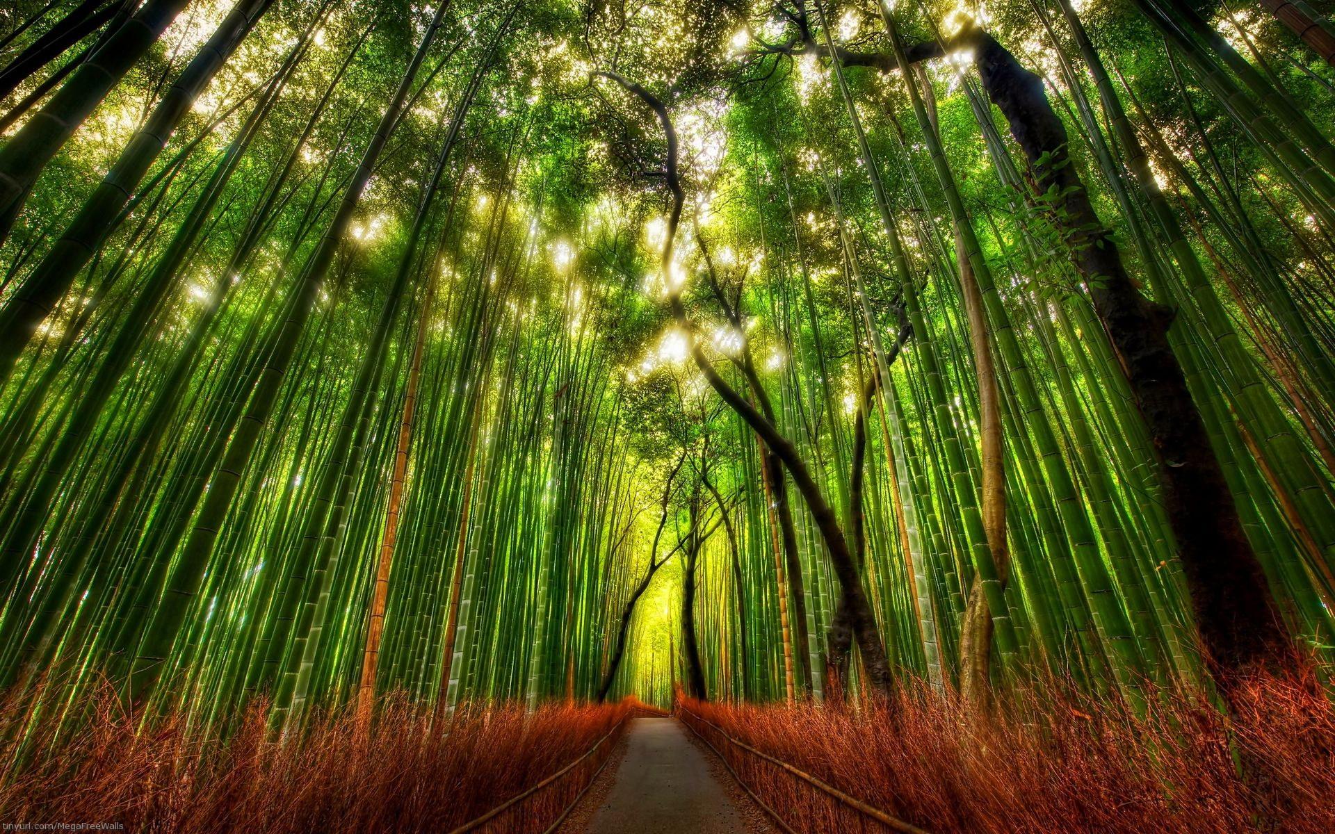 bamboo scenery