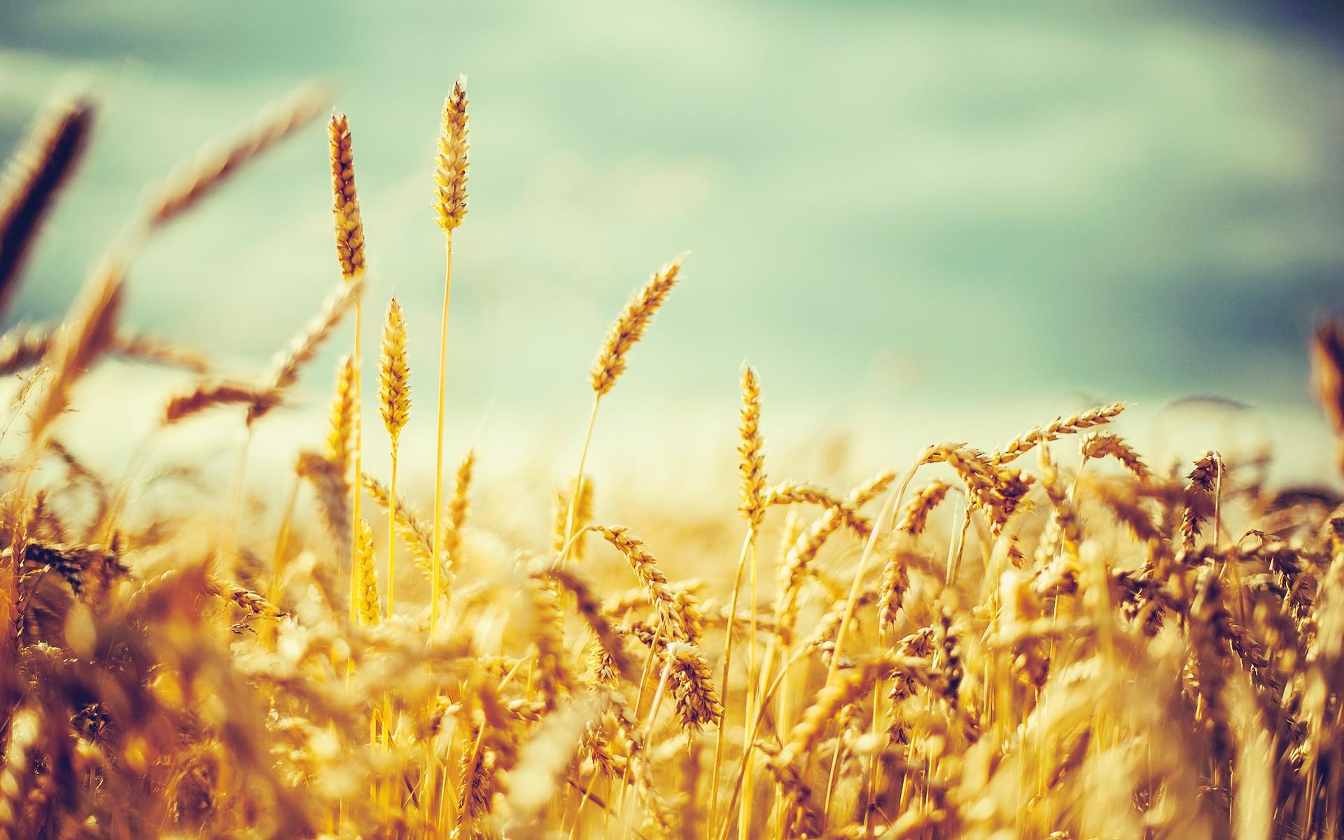 barley wallpaper meadow