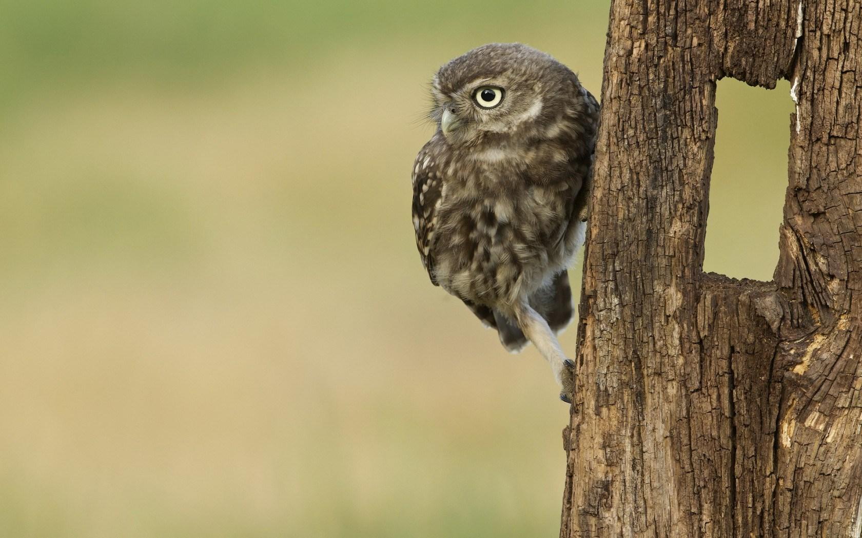 barred owl wallpaper