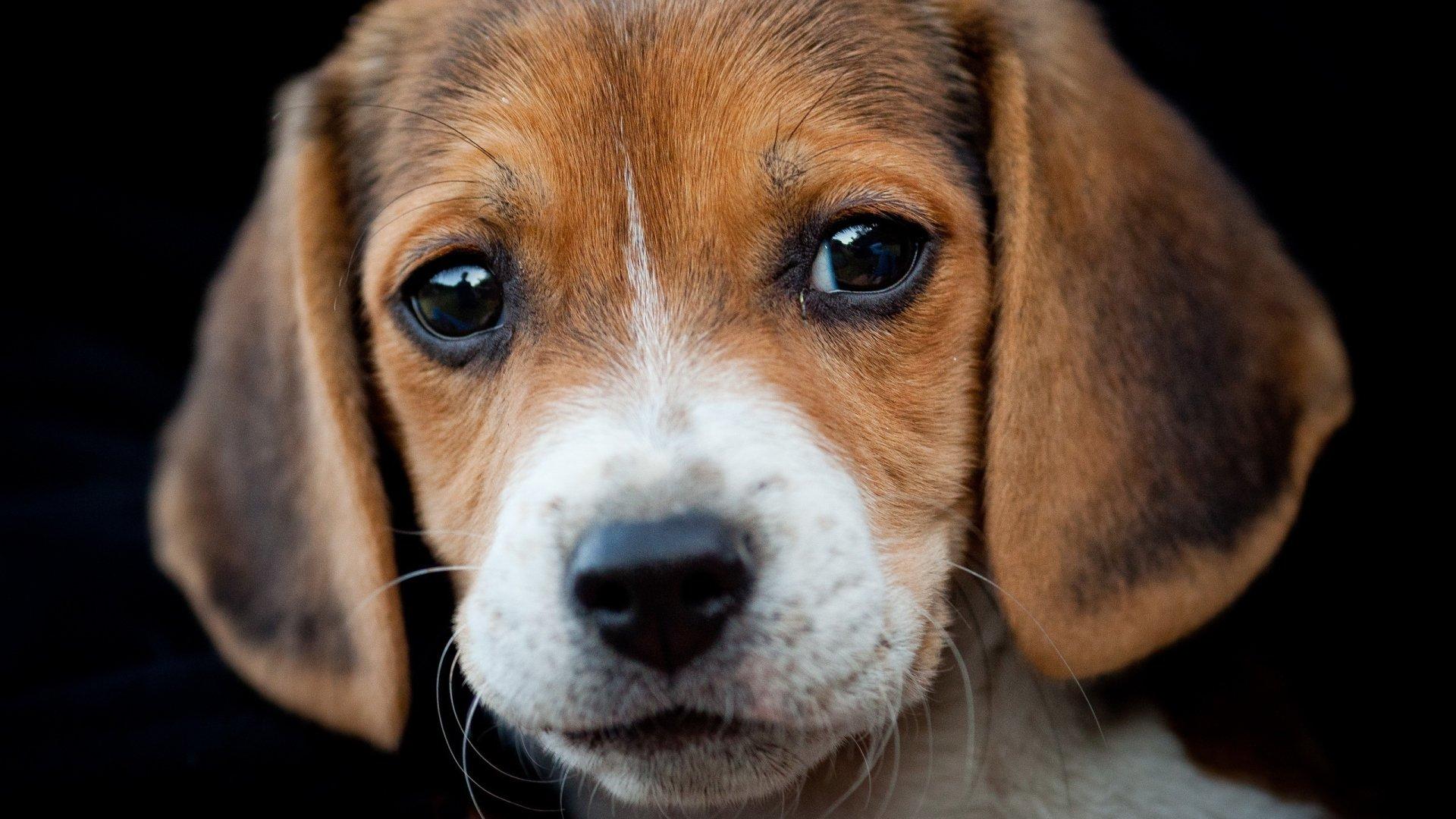 beagle dog breeds