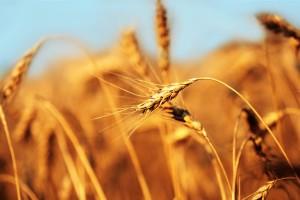 beautiful barley wallpaper