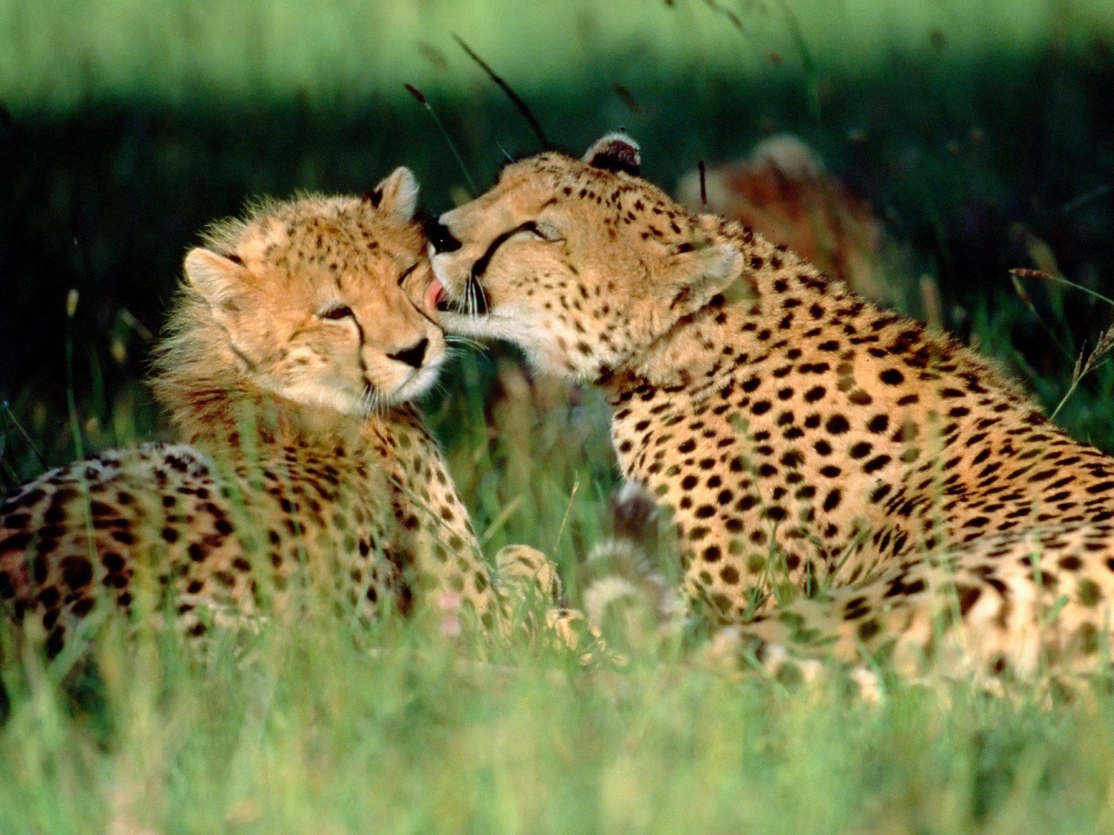 beautiful cheetah pictures