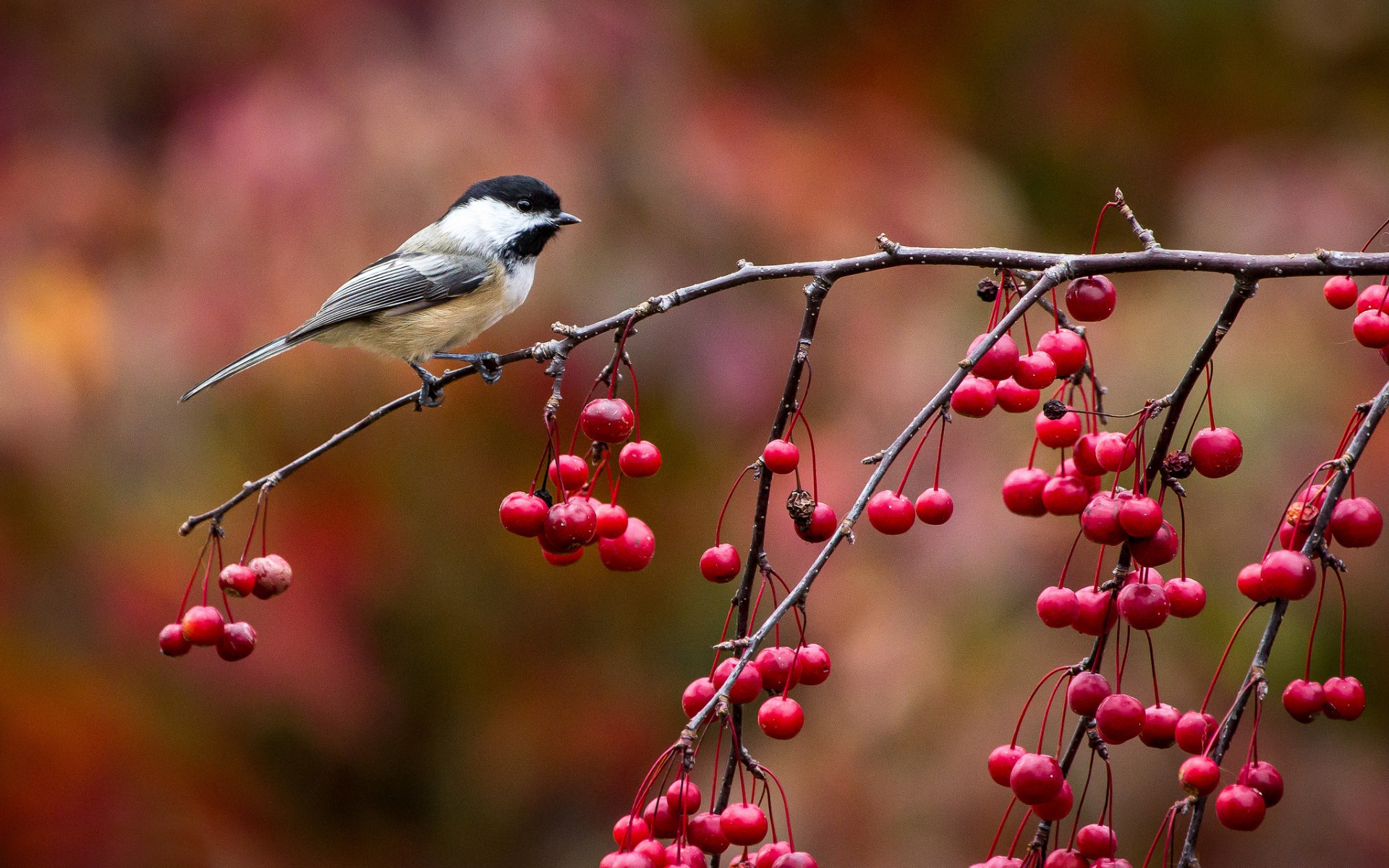 beautiful chickadee wallpaper