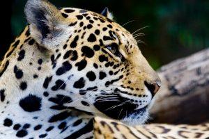 beautiful jaguar animal
