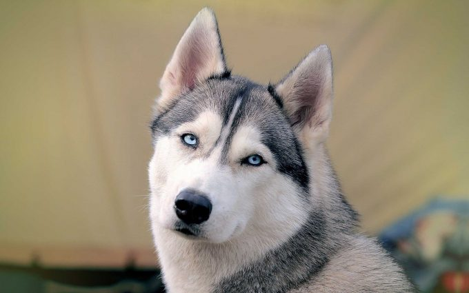 beautiful siberian husky wallpaper