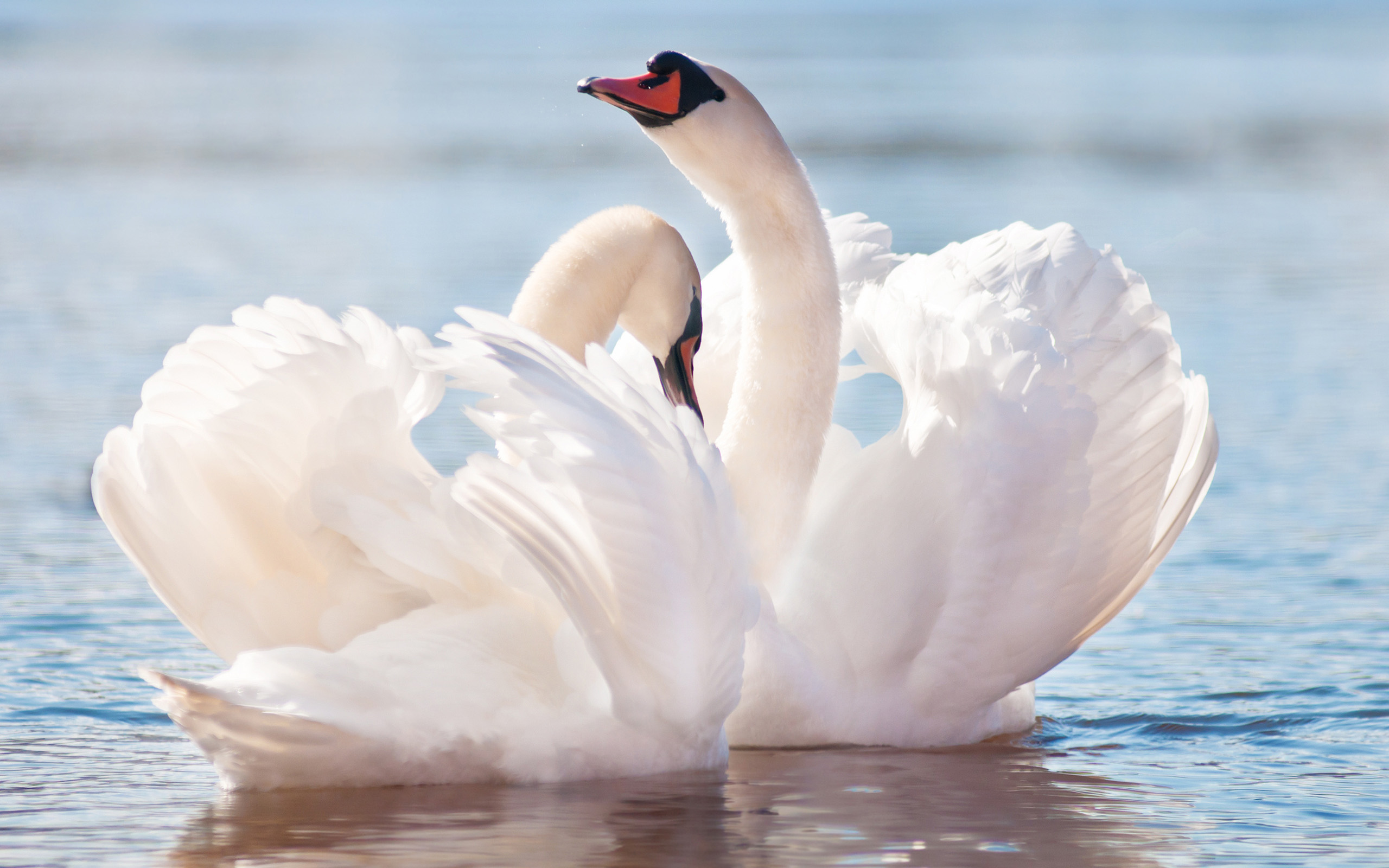 beautiful swan picture