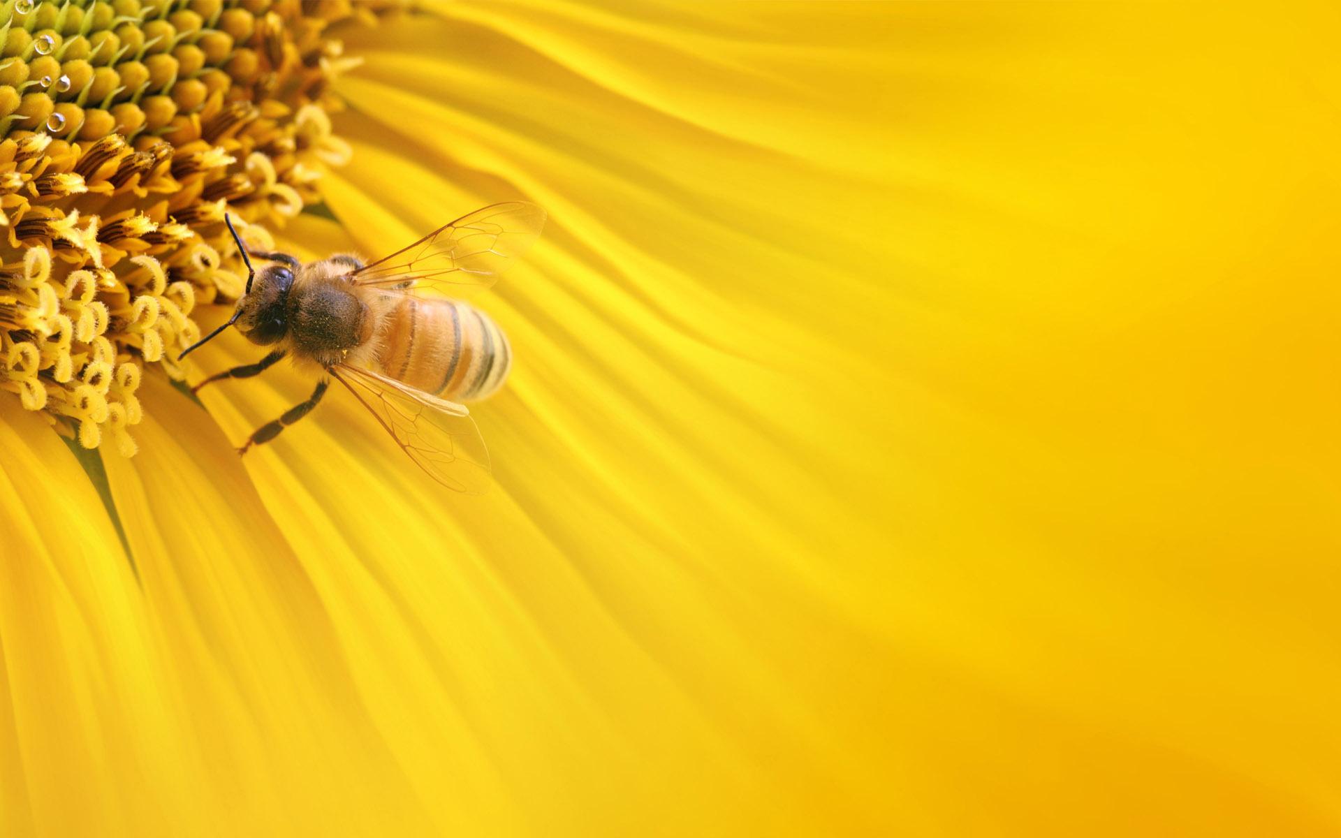 bee desktop backgrounds