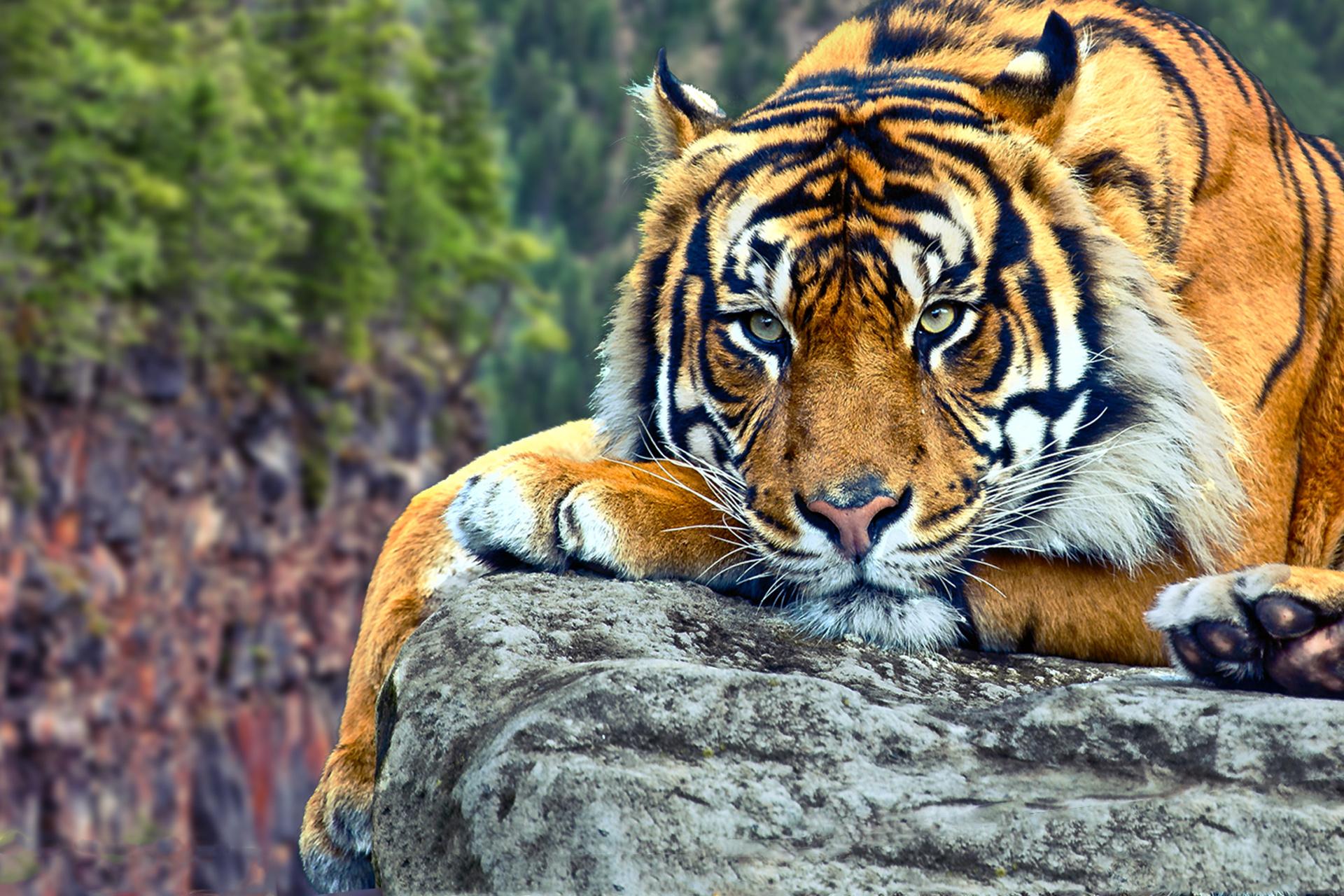 bengal tiger photos