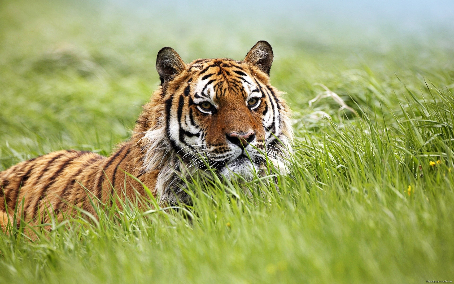 bengal tiger pictures