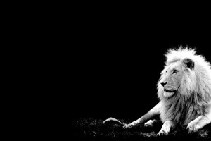best lion wallpapers